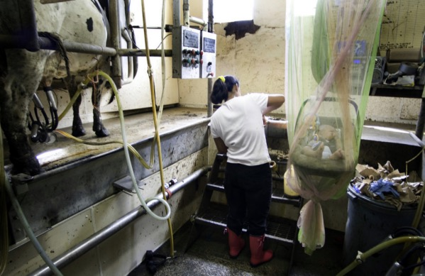 A dairy worker and her child at work